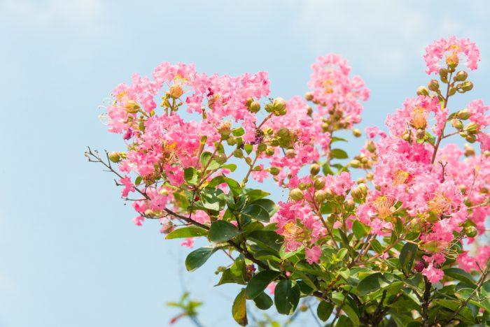 8月結婚式におすすめの花②サルスベリ