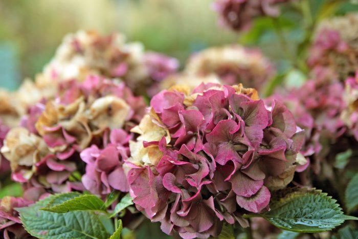 9月のウエディングにおすすめの花 秋色アジサイ
